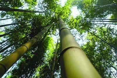 incontri di bambù