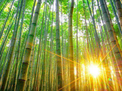 investire green economy e bambù gigante